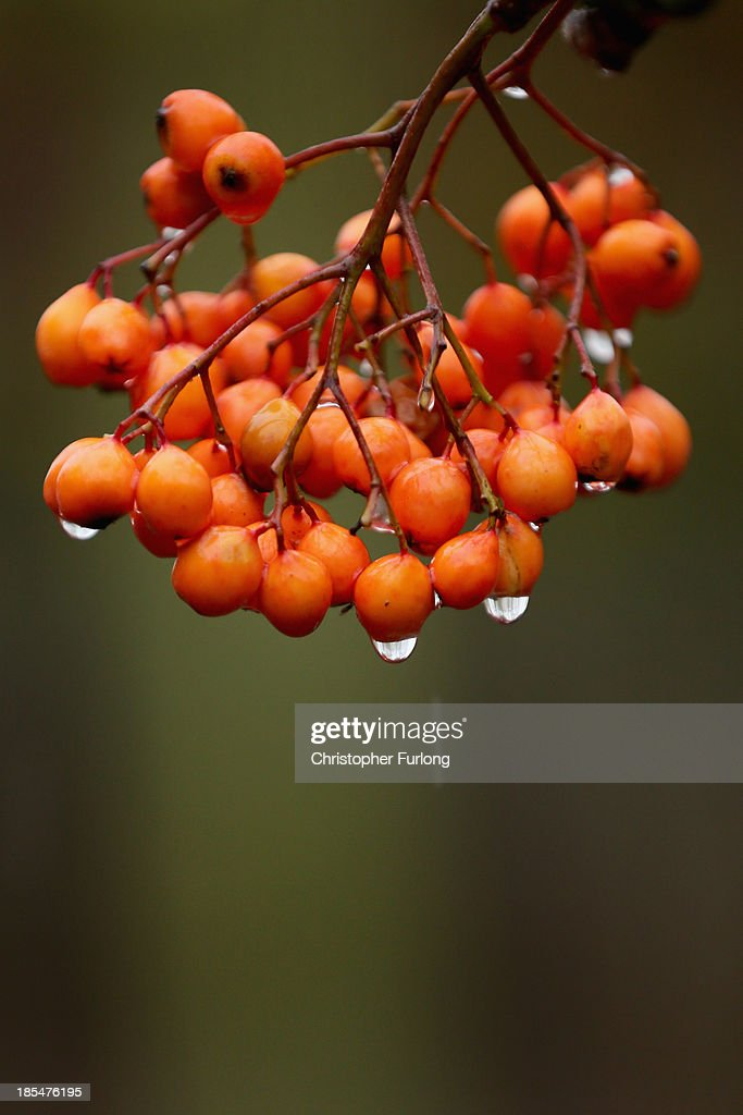 Raindrops cling to Sorbus berries hanging on a tree in the Cheshire countryside on October 21, 2013 in Knutsford, United Kingdom. The mild weather in the United Kingdom has delayed Autumn by up to two weeks according to statistics by The Woodland Trust. Members of the public have submitted their observations to the trust's Nature's Calendar which shows that the traditional Autumn tints are finally appearing on ash, elder, oak and horse chestnut.