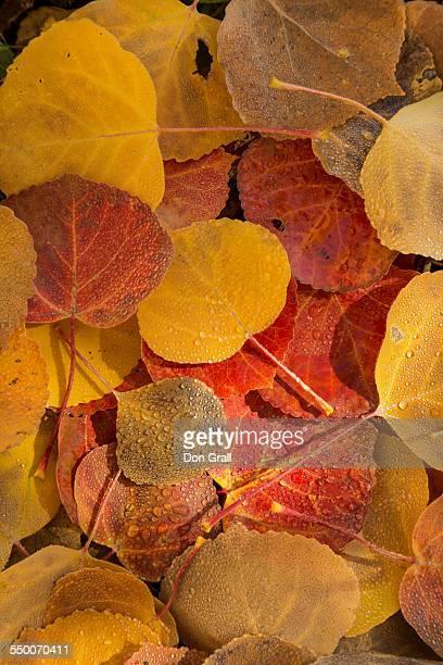 Raindrops cover aspen leaves on forest floor