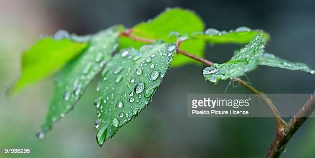 Raindrops on Rose Leaf