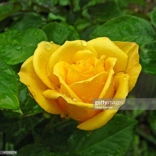Raindrops on yellow rose