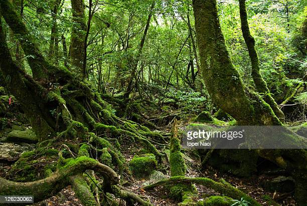 Rainforest covered in moss, Yakushima, Japan