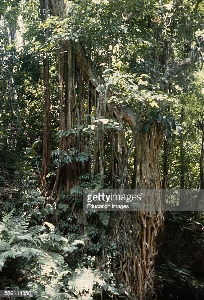 Rainforest Ficus Jamaica Ficus sp