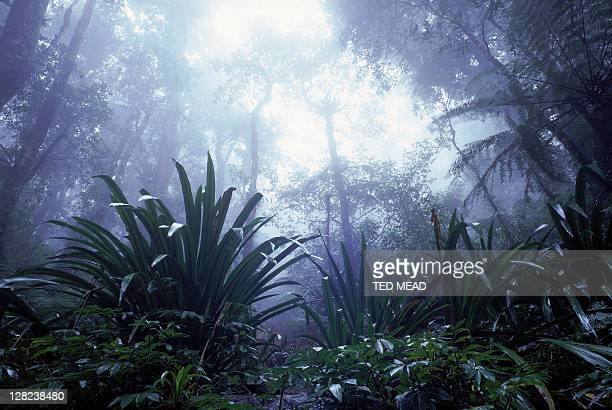 rainforest in mist, lamington np, qld