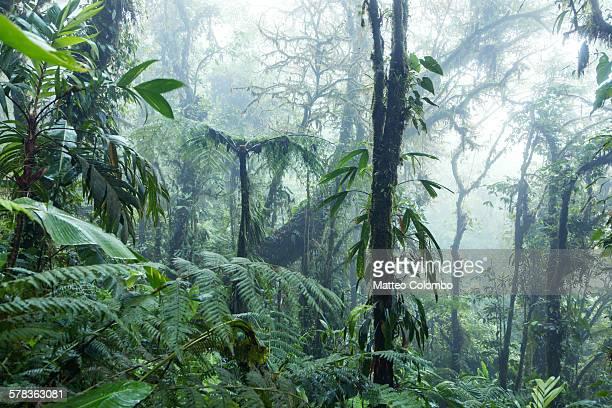Rainforest, Monteverde cloud forest, Costa Rica