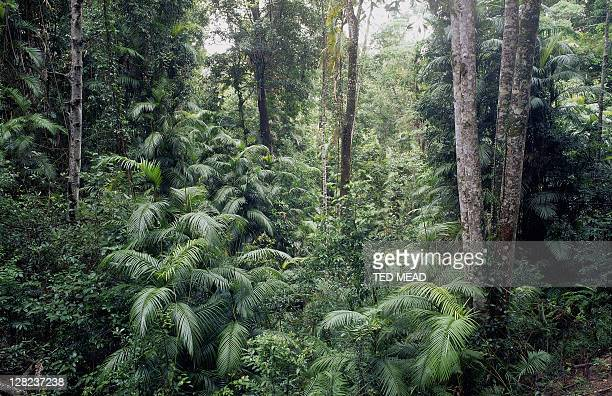 rainforest near herbert river, wet tropics world heritage area, qld