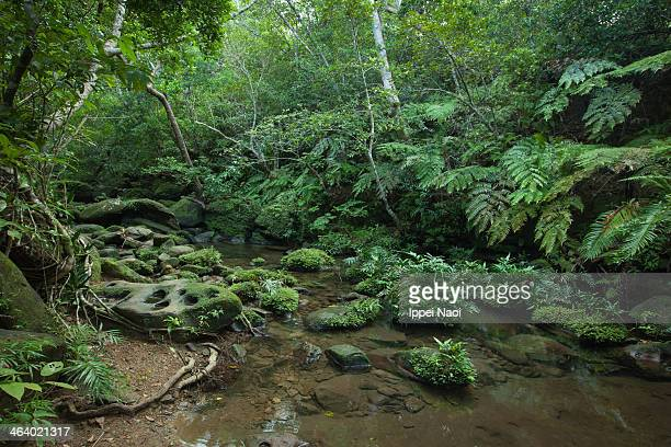 Rainforest stream with lush vegetation, Japan