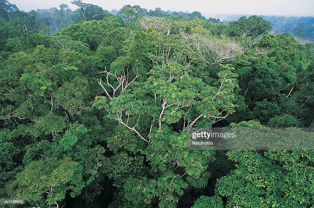 Rainforest Tree Canopy, Posada Amazonas, Amazonia, Peru : Stock Photo