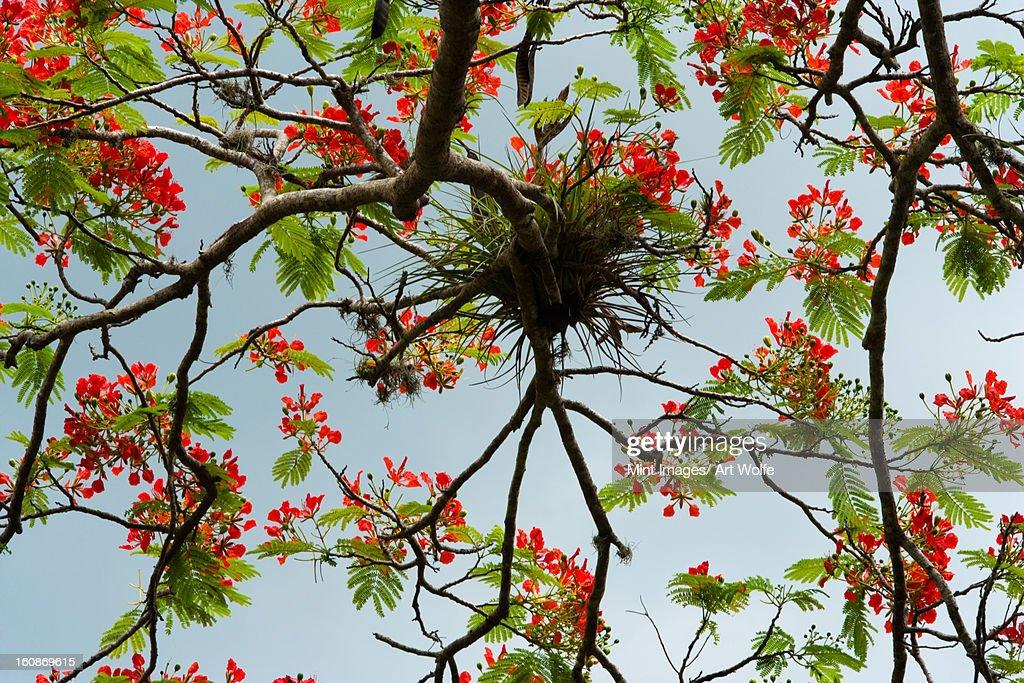 Rainforest tree, Puerto Rico : Stock Photo