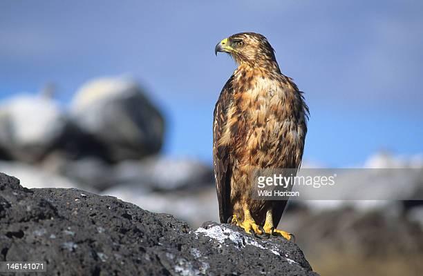 Rainsoaked Galapagos hawk rests on a boulder Buteo galapagoensis Espanola Island Galapagos Archipelago Ecuador