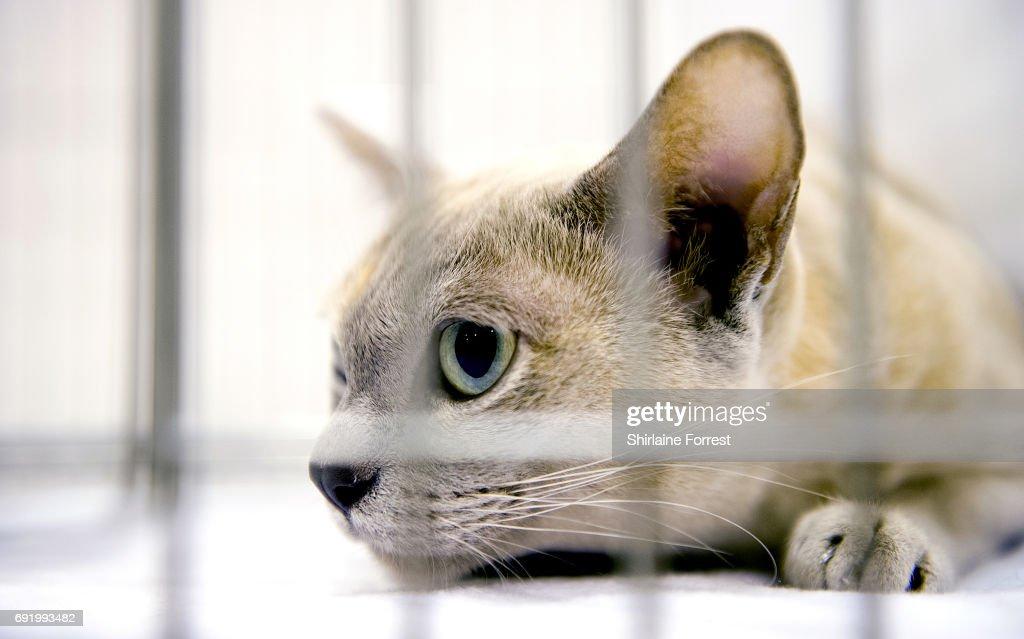 Burmese cat club calendar