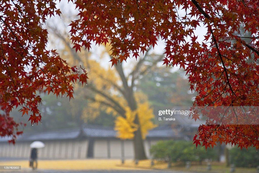 Rainy Autumn Colors at Kyoto's Imperial Park : Stock Photo