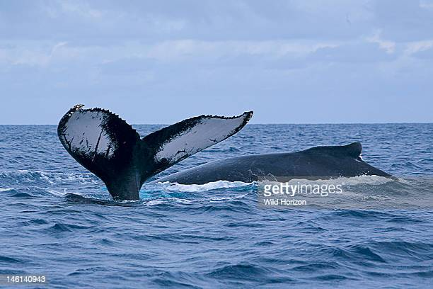 Raised fluke of a diving Atlantic humpback whale alongside another at the surface showing its small rounded dorsal fin Megaptera novaeangliae...