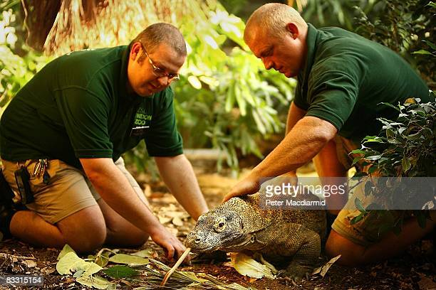 Raja the Komodo Dragon is held by his keepers as his nails are clipped at London Zoo on October 16 2008 in London England Raja who celebrates his...