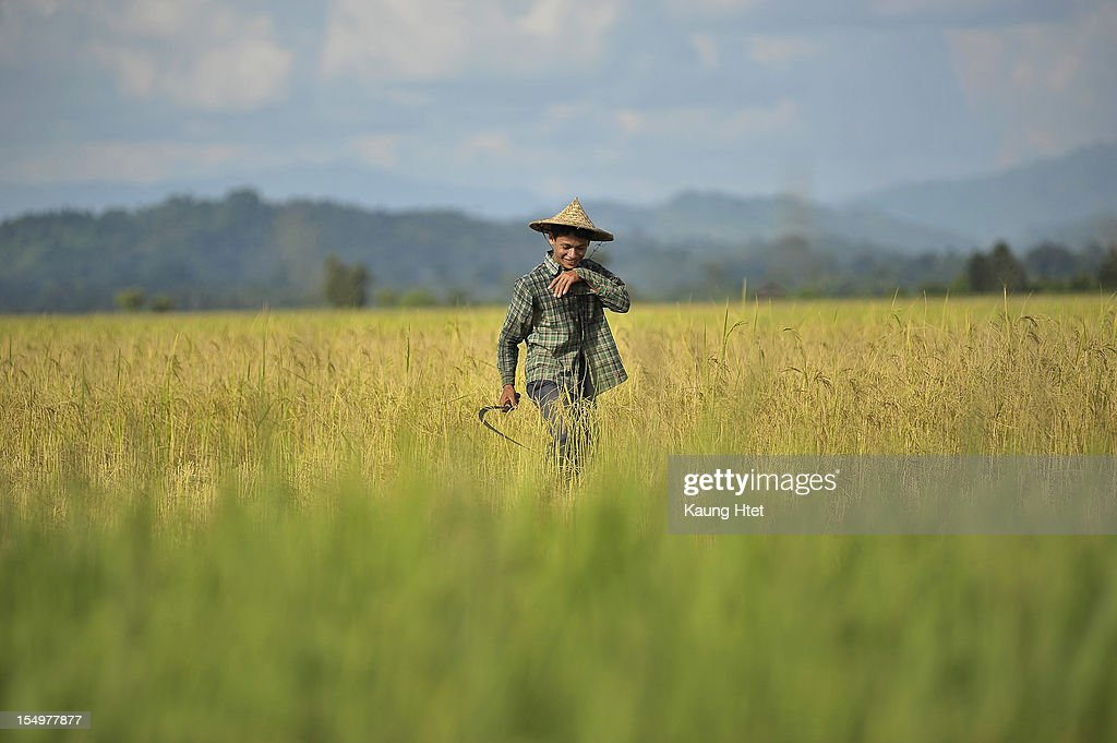 A Rakhine farmer harvests in a rice paddy near Pa Rein village, Myauk Oo township on October 29, 2012 in Rakhine state, Myanmar. Over twenty thousand people have been left displaced following violent clashes which has so far claimed a reported 80 lives. Clashes between Rakhine people, who make up the majority of the state's population, and Muslims from the state of Rohingya began in June.