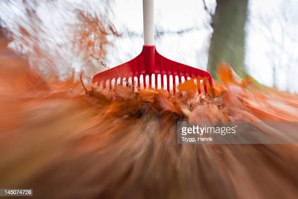 Raking autumnal leaves
