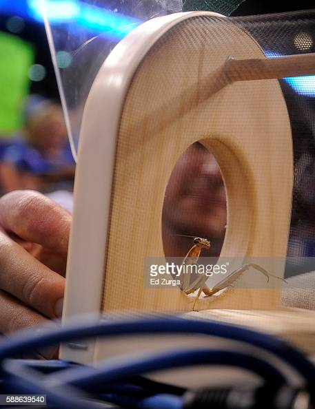 Rally Mantis is put in a special cage for transport to Kansas City Royals' next away game after a game between the Chicago White the Kansas City...