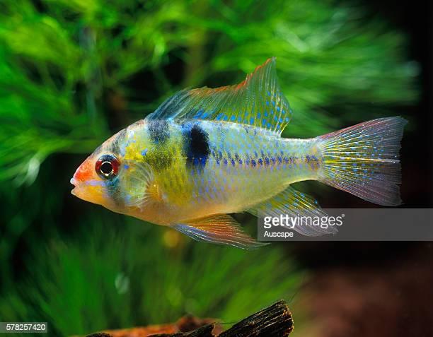 Ram cichlid Mikrogeophagus ramirezi tropical freshwater popular aquarium species grows to 34 cm Originally from Orinoco River Basin Venezuela and...