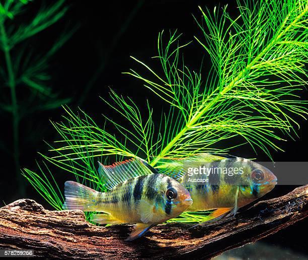 Ram cichlid Mikrogeophagus ramirezi tropical freshwater popular aquarium species grows to 34 cm Originally from Orinoco River Basin South America