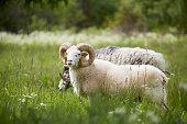 Ram on meadow