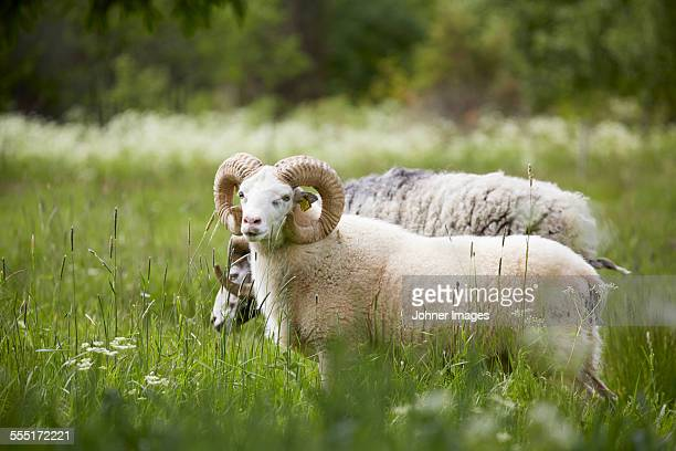 Ram on meadow