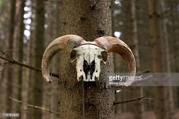 Ram skull on tree.