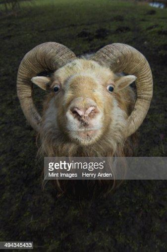 A ram with curved horns on a farm.