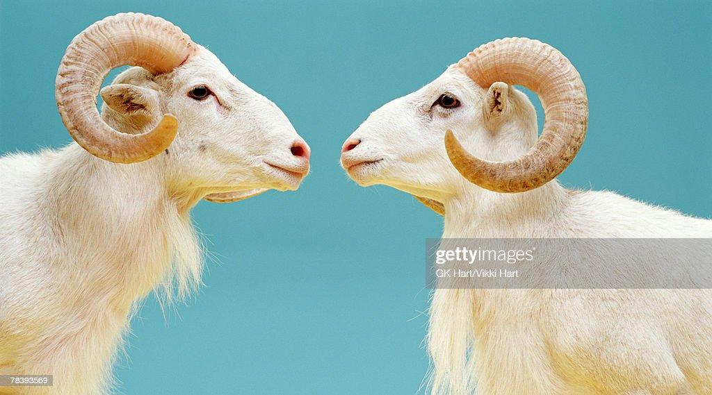 Rams face to face