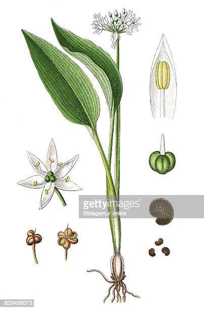Ramsons buckrams wild garlic broadleaved garlic wood garlic bear leek or bear's garlic allium ursinum