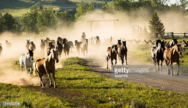 Ranch: Herd of horses being rounded up by cowboy.