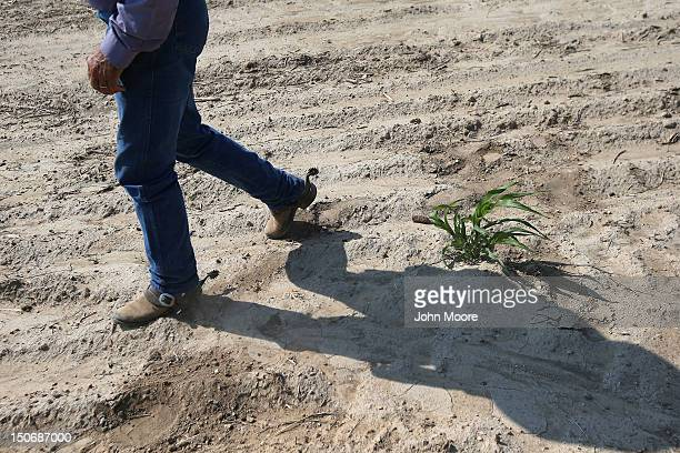 Rancher Gary Wollert walks past a lone millet plant in a failed crop field on August 22 2012 near Eads Colorado The ongoing drought has devestated...