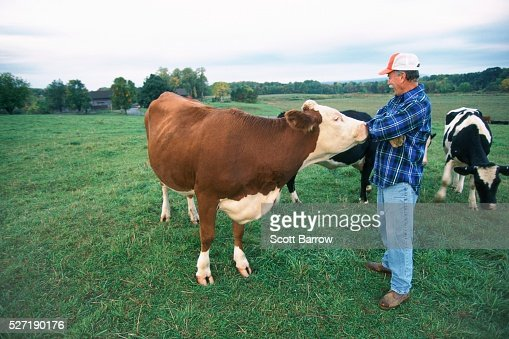 Rancher with his cows : Stock Photo