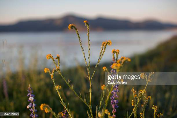 Rancher's fiddlenecks bloom after prolonged record drought gave way to heavy winter rains causing one of the biggest wildflower blooms in years on...