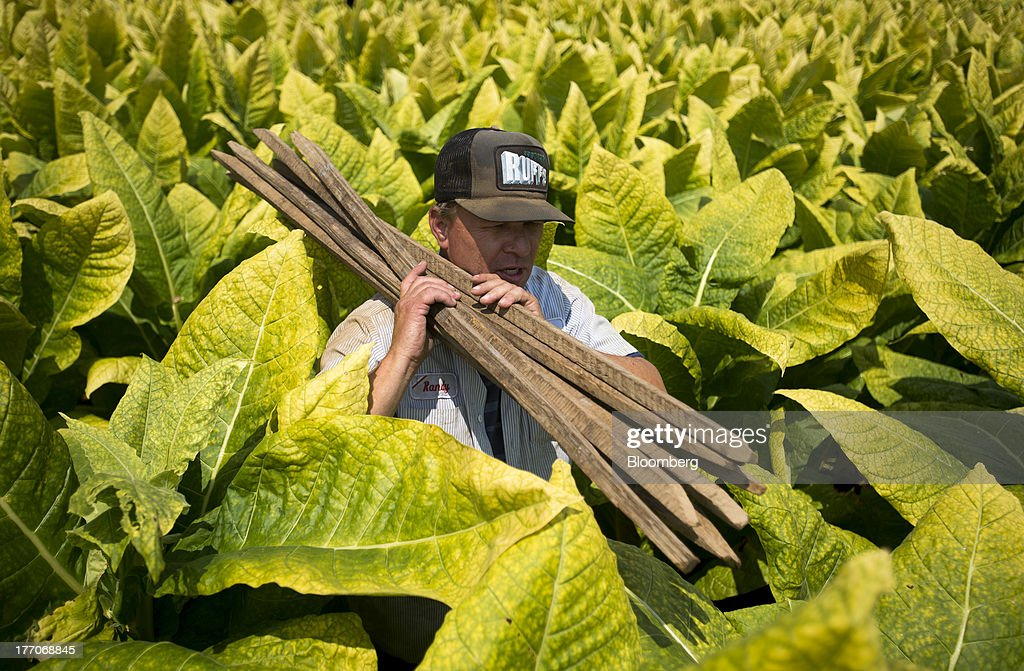 Randy Baldwin, owner of Baldwin Farms, walks through through head-high Burley Tobacco plants in Manchester, Ohio, U.S., on Monday, Aug. 19, 2013. Ohio's debt is headed for its worst annual return since 2008 because of a slump in the value of the state's tobacco bonds. Photographer: Ty Wright/Bloomberg via Getty Images