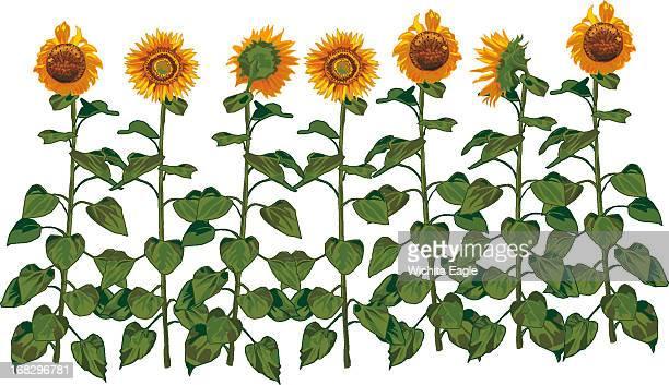 Randy Stephenson illustration of row of sunflowers