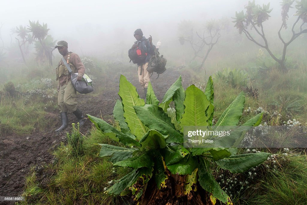 A ranger and a porter walk down from the top of Mount Nyiragongo The Nyiragongo is an active stratovolcano with an elevation of 3470 metres in the...