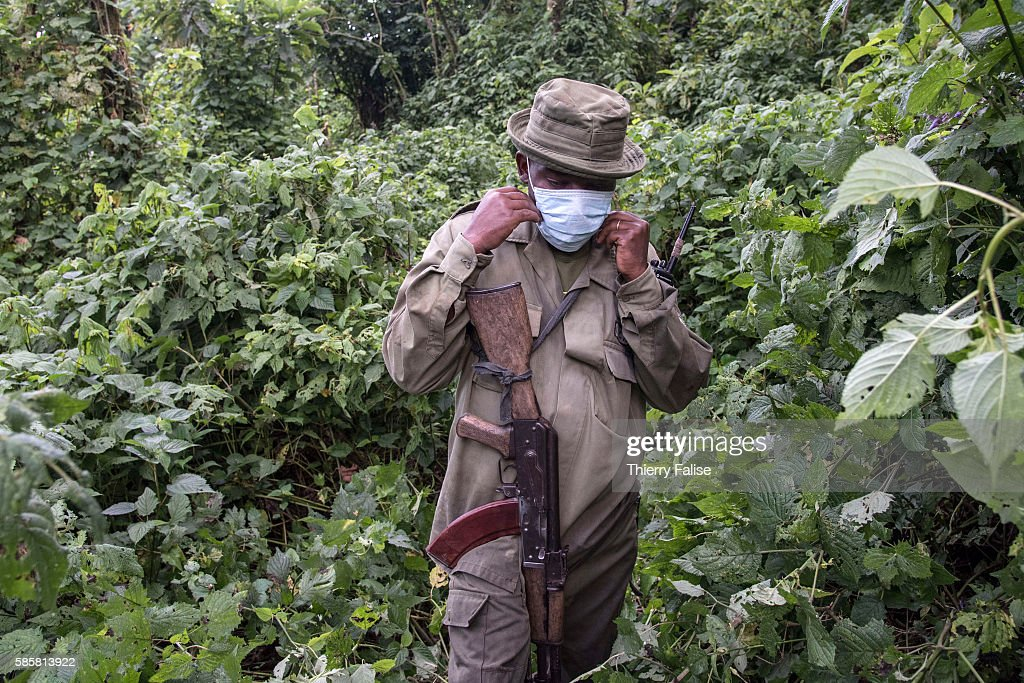 A ranger in the Virunga National Park puts a mask protecting against disease transmission on his approach of a group of mountain gorillas A ranger...