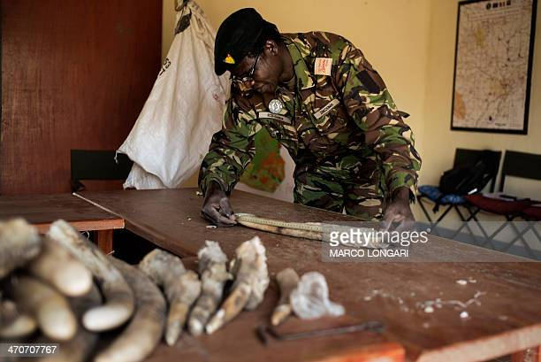 A ranger of the Zakouma National Park measures dozens of elephant tusks at the main office on February 20 2014 waiting for an audit that will...