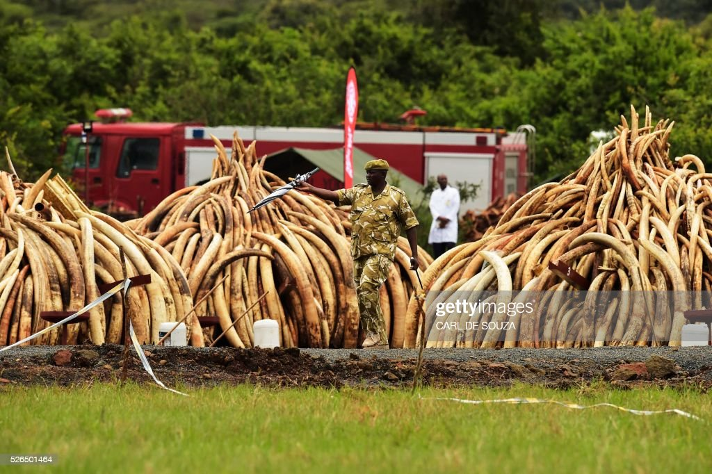 A ranger patrols near stacks of Ivory elephant tusks at the Nairobi National Park on April 30, 2016. Kenyan President Uhuru Kenyatta set fire on April 30, 2016, to the world's biggest ivory bonfire, after demanding a total ban on trade in tusks and horns to end 'murderous' trafficking and prevent the extinction of elephants in the wild. / AFP / CARL