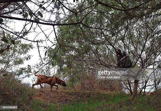 A ranger sits in a tree as a bloodhound catches up after tracking his scent over several kilometres during a training session on August 7 2014 at the...