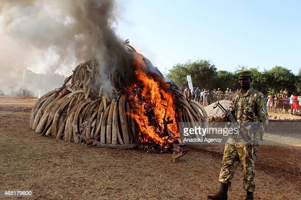 A ranger stands guard near burning ivories in Nairobi Kenya on March 3 2015 Between 20000 and 25000 elephants are killed in Africa annually and...