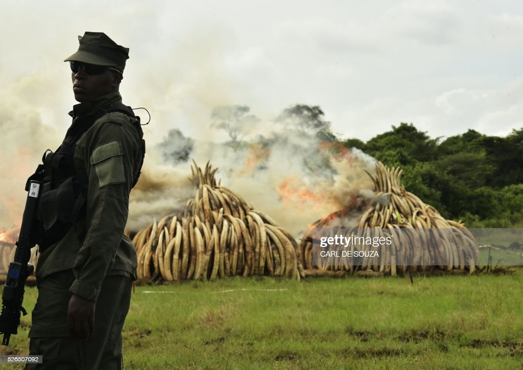 A ranger stands in front of burning ivory stacks at the Nairobi National Park on April 30, 2016. Kenyan President Uhuru Kenyatta set fire on April 30, 2016, to the world's biggest ivory bonfire, after demanding a total ban on trade in tusks and horns to end 'murderous' trafficking and prevent the extinction of elephants in the wild. / AFP / CARL