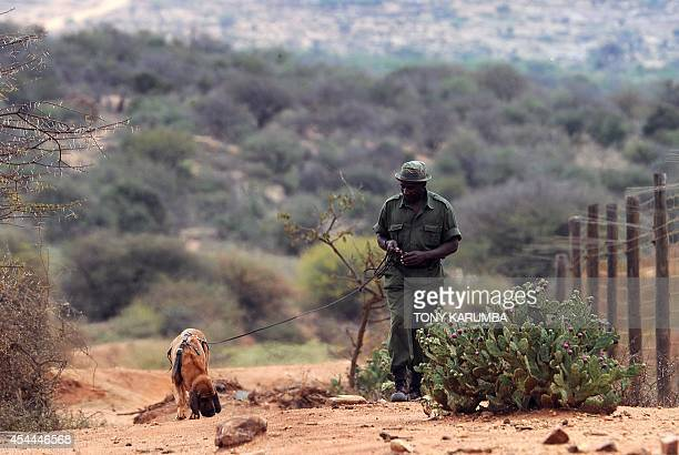 A ranger with his bloodhound track a scent of a 'poacher' during a training session on August 7 2014 at the Ol Jogi rhino sanctuary in the Laikipia...