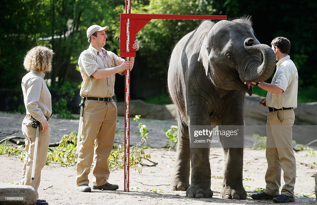 Rani, an Asian elephant is measured by zookeepers during a baby animals inventory at Hagenbeck zoo on May 16, 2013 in Hamburg, Germany.
