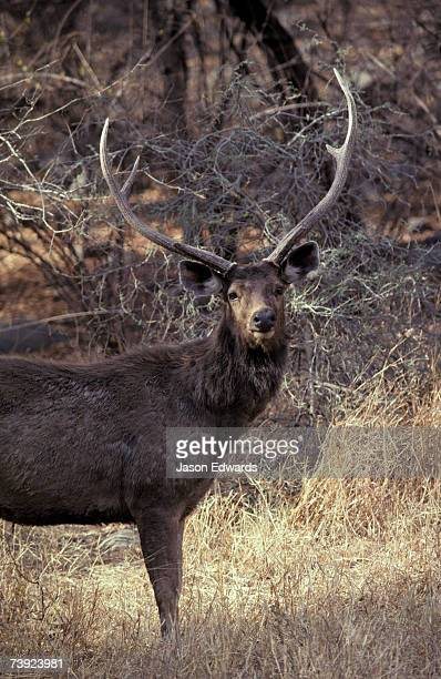 A Sambar Deer Stag with impressive antlers stands to attention.