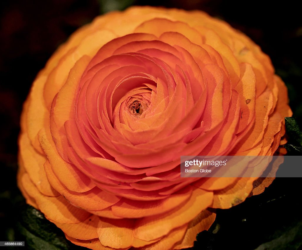 A ranunculus flower at The Boston Flower Garden Show which returns to the Seaport World Trade Center in Boston from March 11 to March 15 with the...