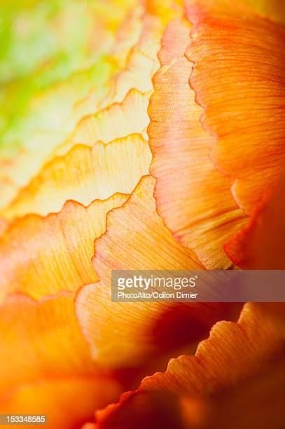 Ranunculus flower head, extreme close-up