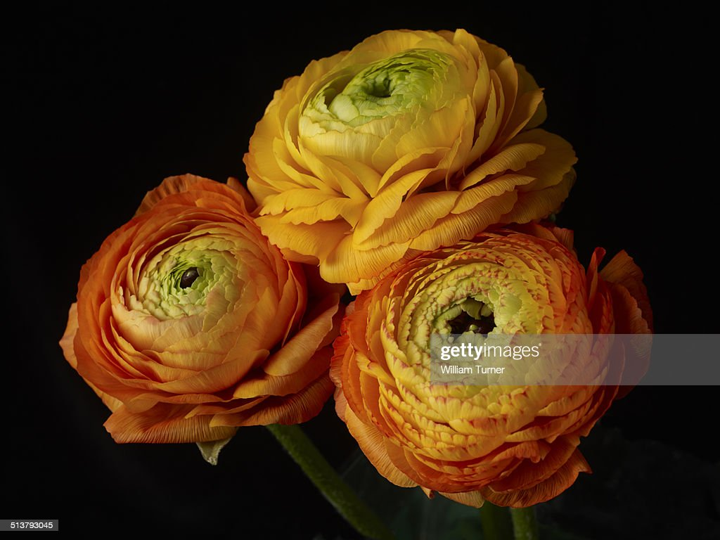 ranunculus flowers on a black background