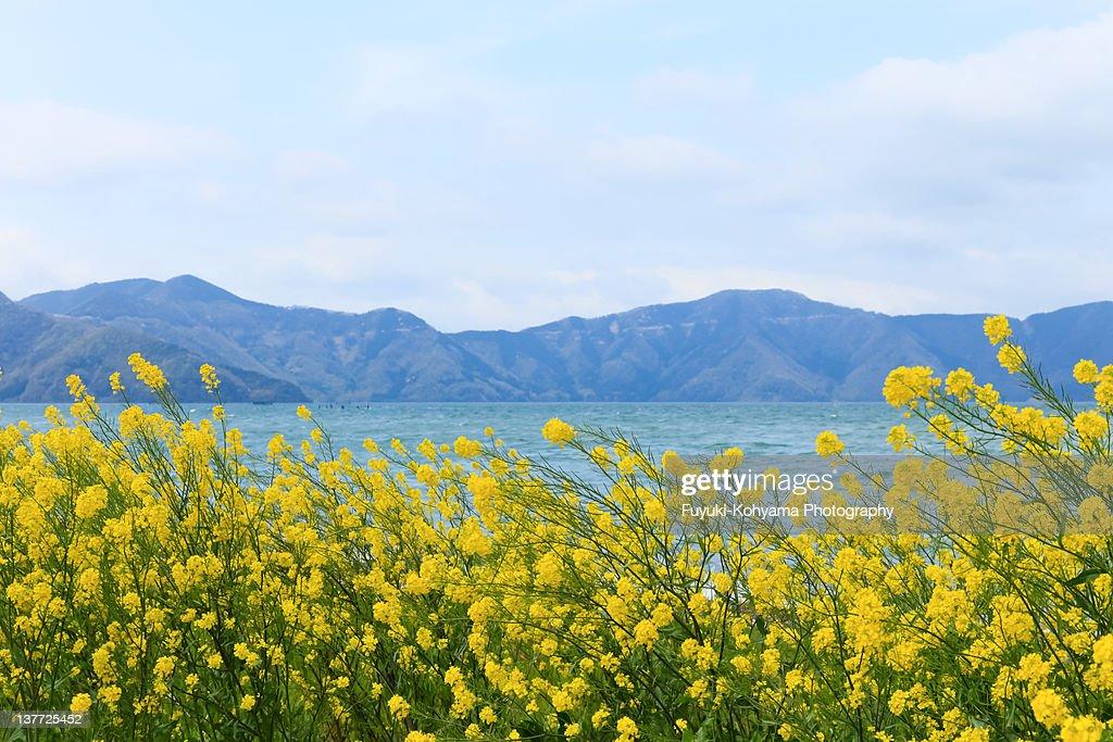 Rape blossoms and  Lake Biwa