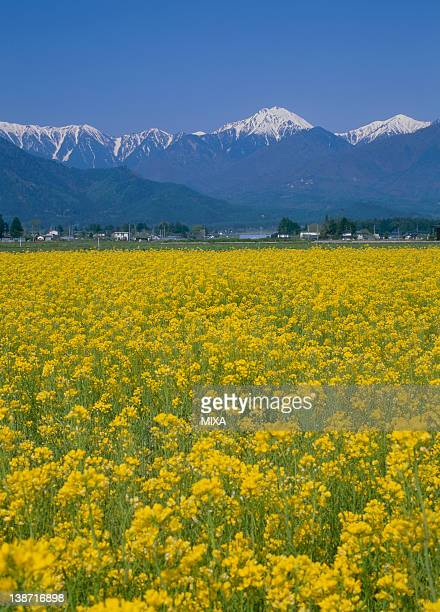Rape Blossoms and Mount Jonendake, Azumino, Nagano, Japan