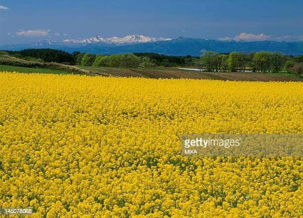 Rape Blossoms at Fukkoshi, Yokohama, Kamikita, Aomori, Japan